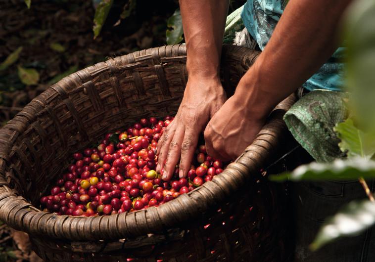 תעלו לקפה: ארצות המקור של הפולים השחורים