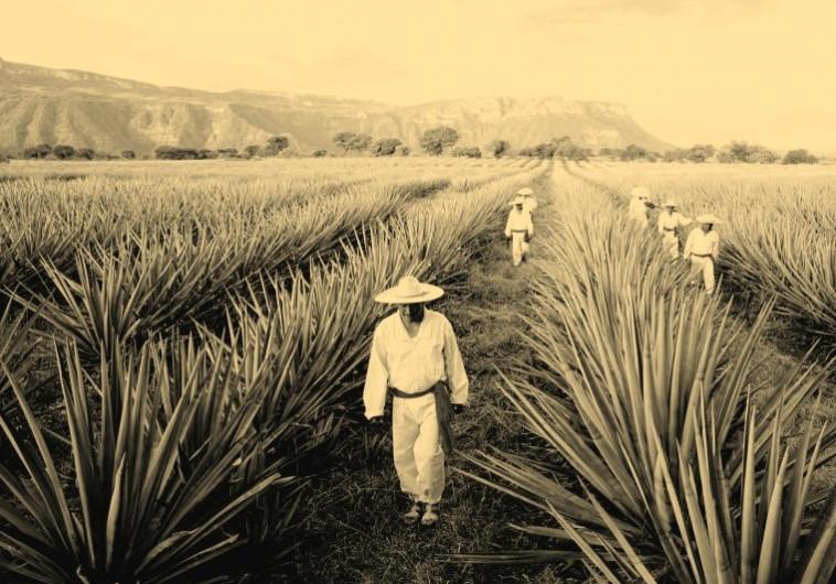 מקסיקנית לוהטת: הטקילה של מזקקת אביון