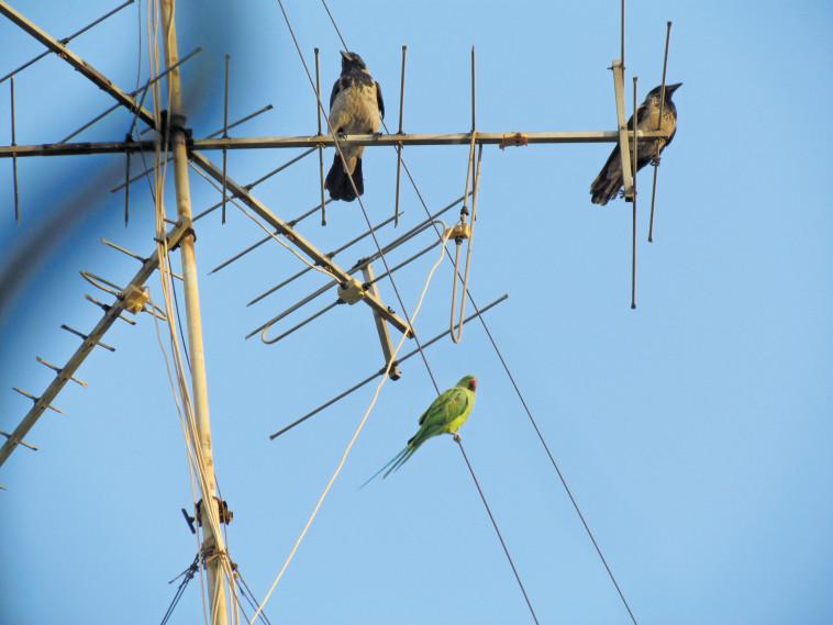 ציפורים מכל המינים והסוגים על האנטנות הישנות. צילום: נתן זהבי
