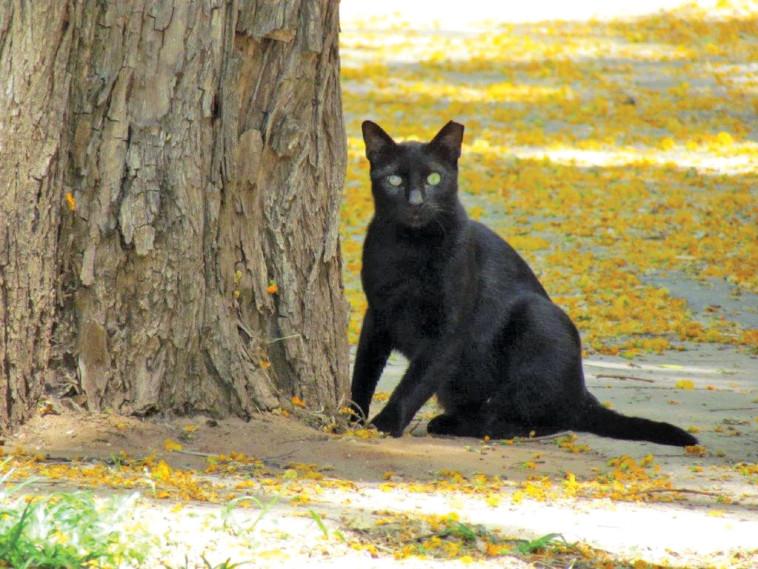 חתול שחור דמוי פנתר בעל עיניים בורקות מביט אליי במבט מקפיא. צילום: נתן זהבי