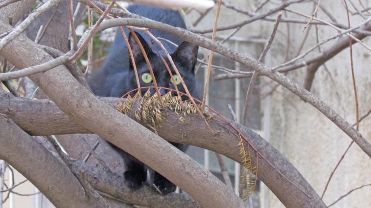 הפנתר השחור על העץ מחכה לפסטרמה . צילום: נתן זהבי