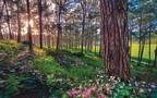 רקפות ביער, כרמל