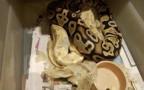 החזיק בחדר השינה תנין ונחשים