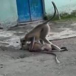 קוף ניסה להחיות את חברו