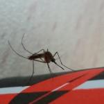 יתוש הקולקס, קדחת הנילוס