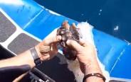 חילוץ צב הים שנלכד ברשת