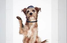 הכלבים שהוצגו כיהודים במסגרת יהדות התורה(הכלבים שהוצגו כיהודים במסגרת יהדות התורה)