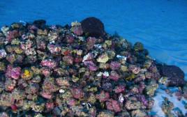 שונית האלמוגים החדשה באמזונס