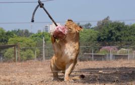אריות בספארי נהנות מארטיק עוף קפוא