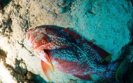דג מת במפרץ אילת