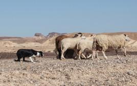 כלבת בורדר קולי רועה כבשים