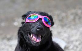 כלב חובש משקפי מגן לליקוי החמה