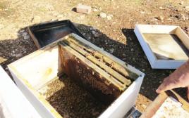 כוורת גנובה שנמצאה בגליל העליון, ובה  דבורים מתות