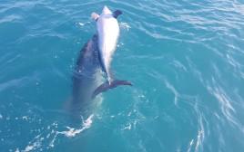 צמד דולפינים סמוך לאשדוד