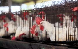 לול תרנגולות, ללולים בתמונה אין קשר לנאמר בכתבה