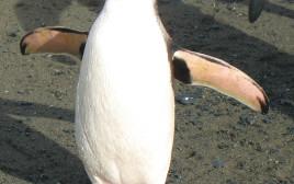 פינגווין מלכותי