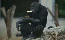 קוף אוכל מצות בספארי