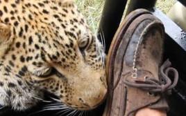 מפגש קרוב עם נמר