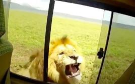 ניסה ללטף אריה