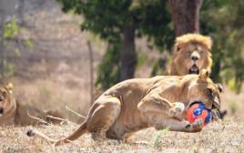 אריות עם כדורי מונדיאל