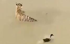איפה הוא?! ברווז ערמומי מצליח לחמוק מטיגריס