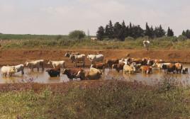פרות בנחל ברמת הגולן
