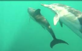 להקת דולפינים סמוך לחוף אשדוד