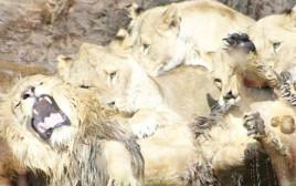 לביאות תקפו אריה