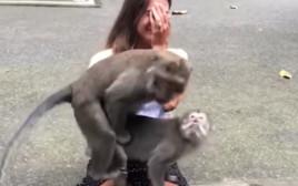 קופים מזדווגים על ברכיה של תיירת