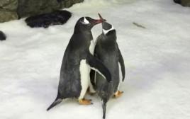 ספן ומג'יק, זוג הורים זכרים לפינגווין קטן