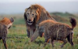אריה נלחם ב-20 צבועים