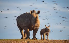 הקרנפית קרן פלס והגורה שנולדה בספארי