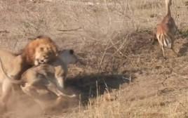 אריה מבולבל רדף אחר בעל החיים הלא נכון