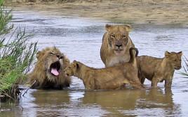 משפחת אריות בבילוי משפחתי