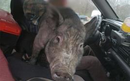 יש לו רישיון? מצאו חזיר במושב הנהג