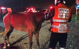 נהג מונית פגע בשני סוסים עם רכבו