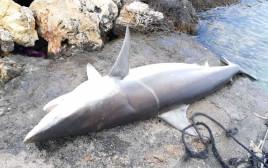 כרישה שנמצאה מתה בחוף אכזיב