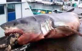 מצאו כריש מת עם צב ענקי בפה