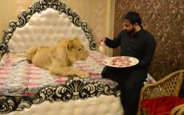 מגדל אריה כחיית מחמד