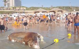 פגר של עגל נסחף לחוף בתל אביב