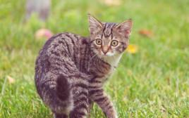 גור חתולים