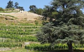 כרמי קורדיו בעמק הרון