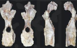 עצמות הדינוזאור האפריקאי