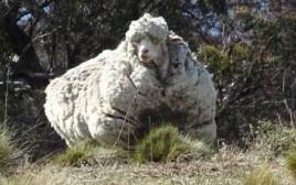 כריס הכבש ששבר שיא עולם