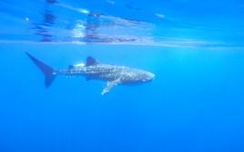 כריש לווייתן במפרץ אילת