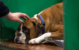 כלב בוקסר, אילוסטרציה (למצולם אין קשר לנאמר בכתבה)
