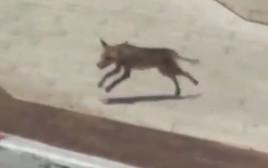 השועל בנוף הגליל