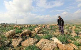 רועה צאן פלסטיני בצפון בקעת הירדן