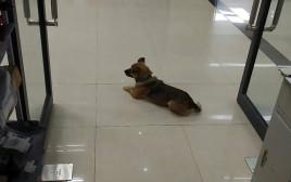 """הכלב שאובאו בביה""""ח בוואהן"""