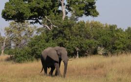 פיל בבוטסואנה